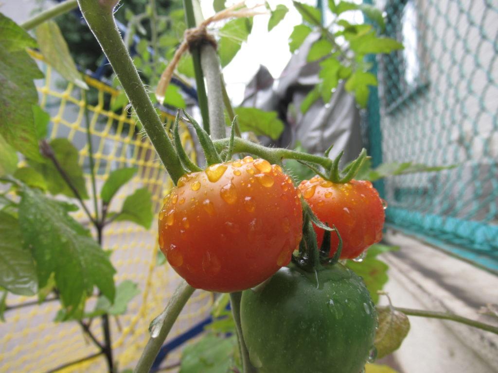 5月から栽培を始めてずっと緑色だったトマトがやっと赤くなり始めました!収穫まであと少し…!